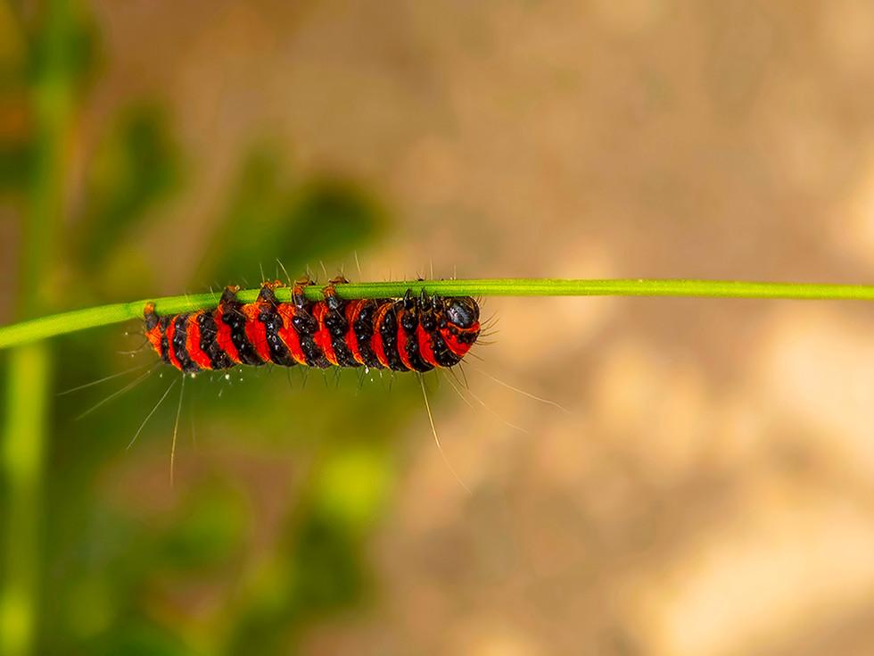 PDI - Cinnamon Moth Caterpillar by Johnny Forsythe (11 marks)