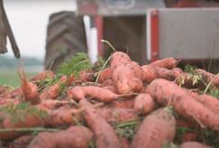 Les carottes bio d'Île-de-France