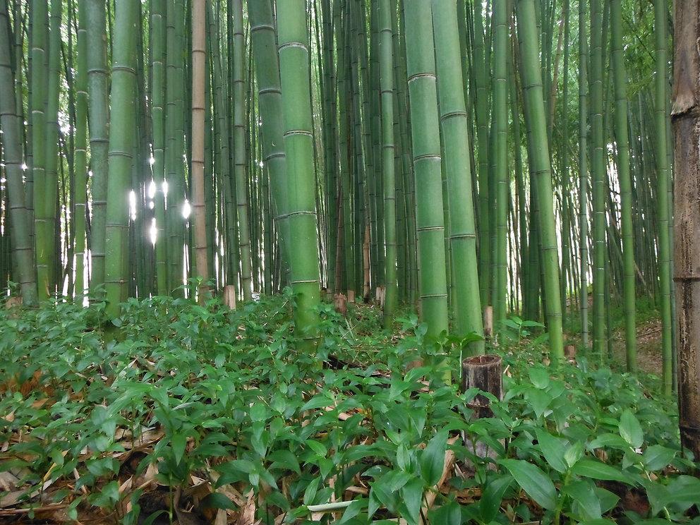 Bamboo in Coimbra Choupal