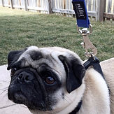 Pug with Heavy Duty Locking Dog Leash