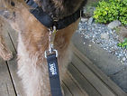 Newfoundland Dog with High Quality Locking Dog Leash
