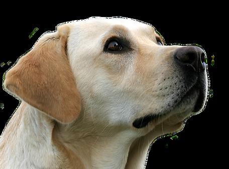Yellow Lab Large Dog