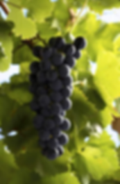 Regent grapes