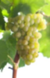 Pinot Blanc (Weisser Burgunder) Grapes