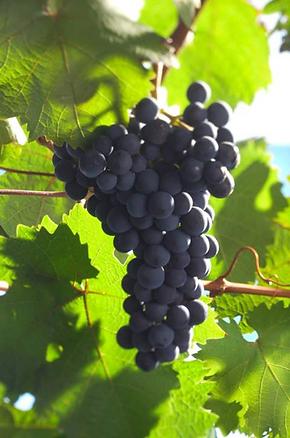 Dornfelder Grapes