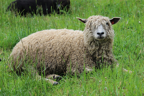 Leila's Fleece (Wensleydale)