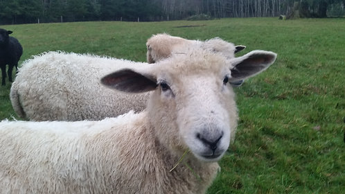 Nicely's Fleeces (Icelandic)
