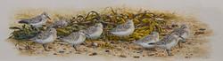 Sanderlings at rest
