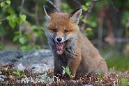Baby fox 3.jpg
