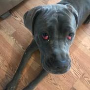 Arabella from Mastiffs to Mutts Rescue