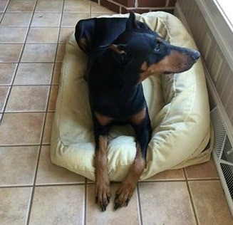 Sasha - Doberman Pinscher Rescue of PA, Inc