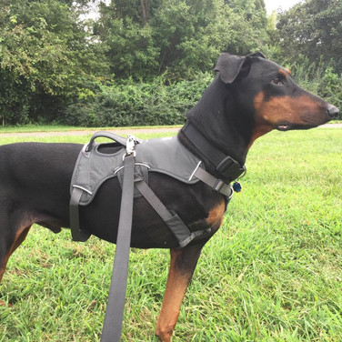 Nova - Doberman Pinscher Rescue of PA,Inc