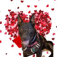Kola - Central PA Animal Alliance / HOPE Dogs