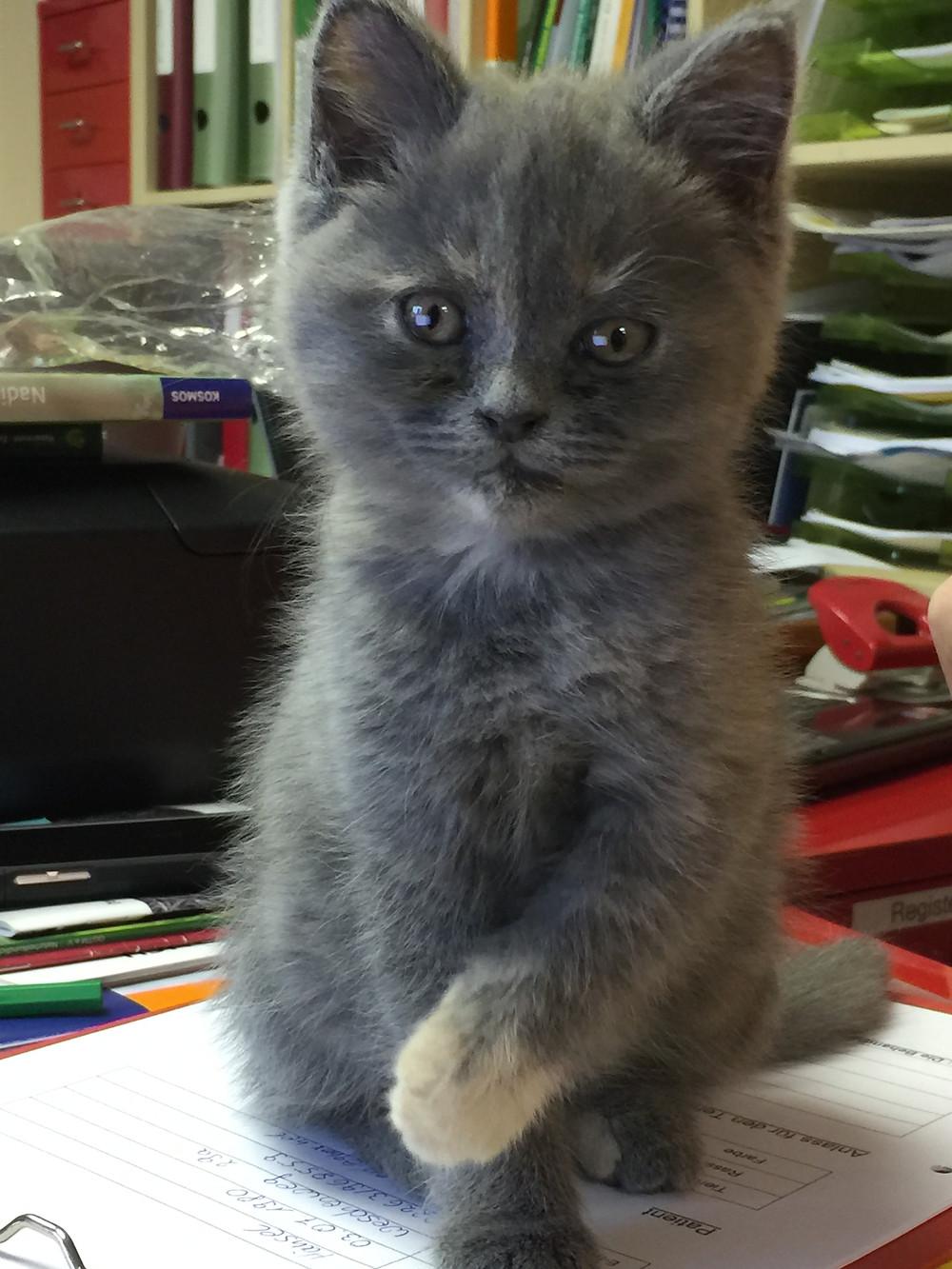 Babykatze grau sitzend