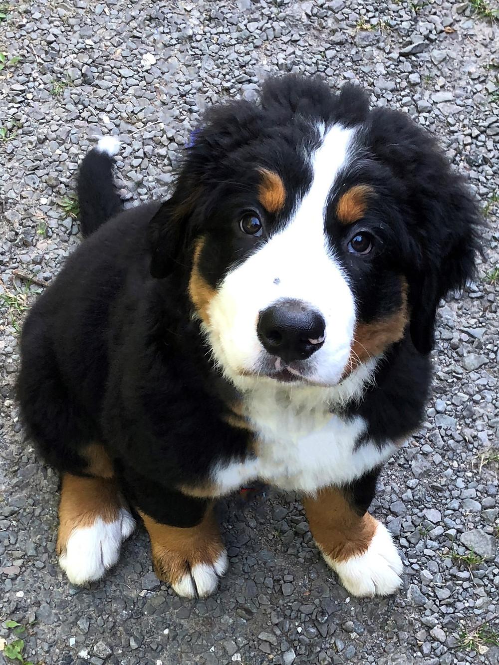 Bernersennen Hund, Rüde, 13 Wochen