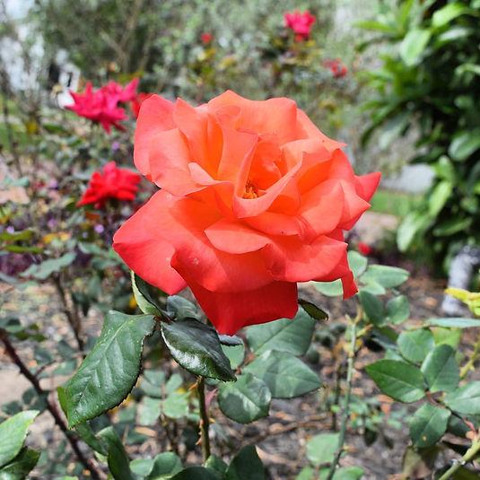 Forever Rose.jpg