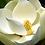 Thumbnail: Magnolia Peach