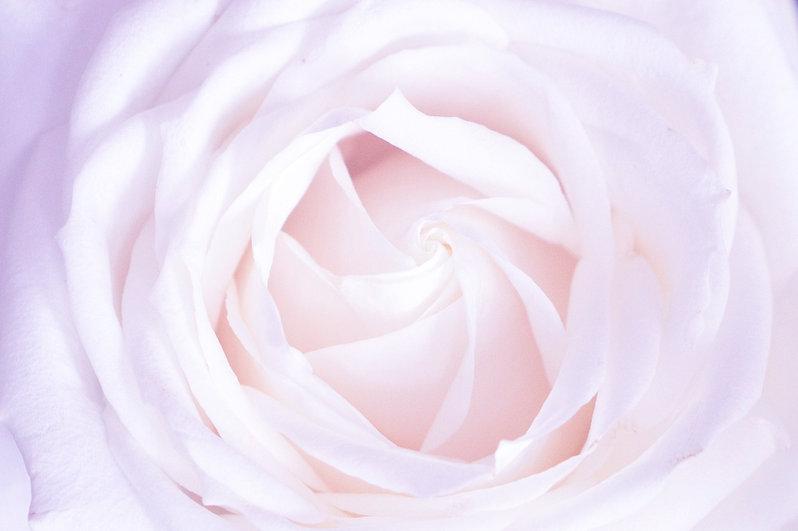 rose-lavender.jpg