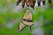 swallowtail-butterfly-329376_1920.jpg