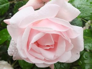 newdawn-rose-3