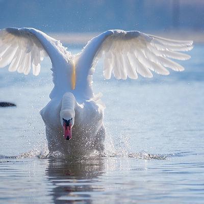 swan-4028727_1920.jpg