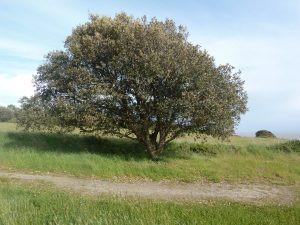arbre-chaman