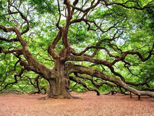 retrouver la force tranquille du chêne