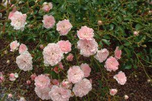 6016-Rosa-The-FairyPolyantha