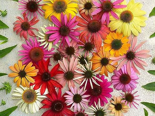 Echinacea Paradiso Mix