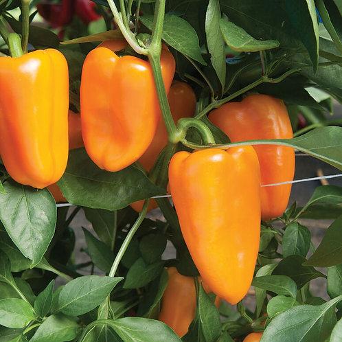 Bell Pepper Yellow - Aura organic (F1)