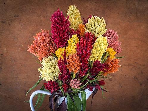 Celosia Rainbow Plume Mix
