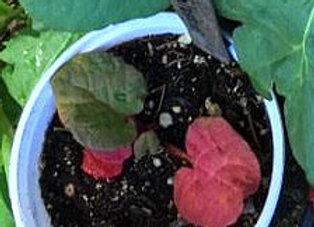 Rhubarb small