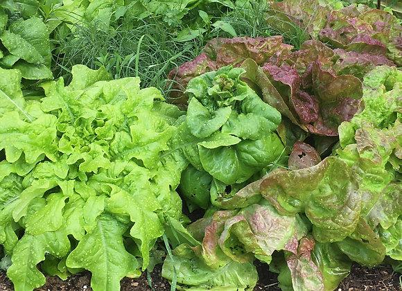 Fresh lettuce, Leaf or Head