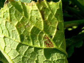 Getting rid of squash bugs using just water