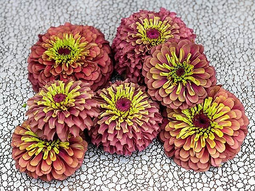 Zinnia Queen Lime Red