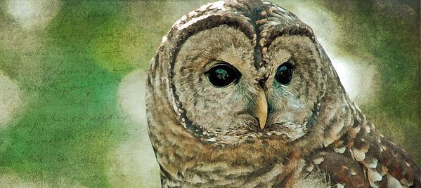 barred owl wTxt_CROPPED2.jpg