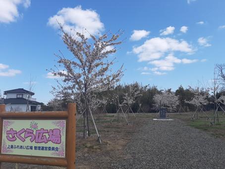 桜(明社の杜)