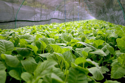 Tobacco plant 3