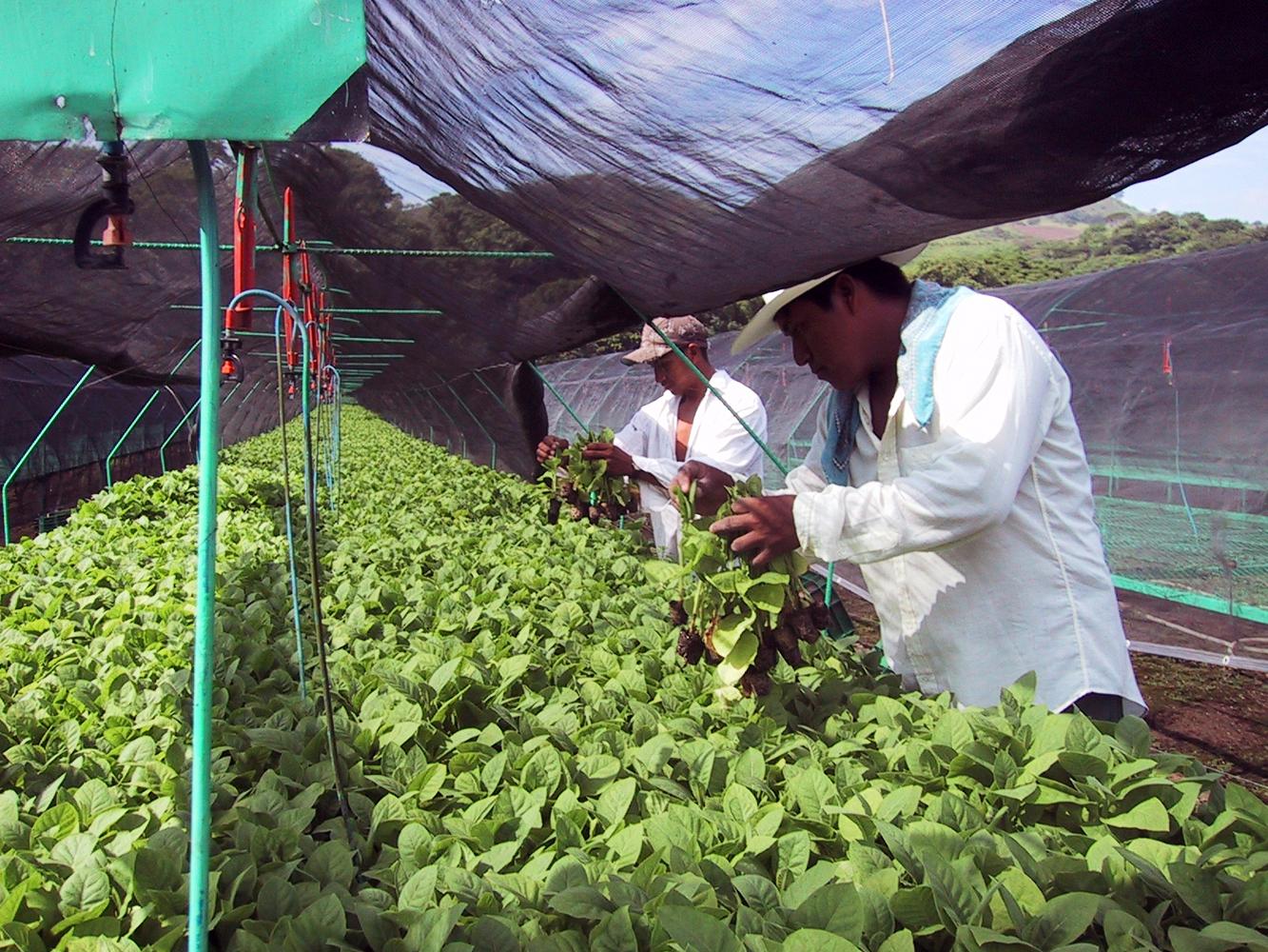 Tobacco plant 2