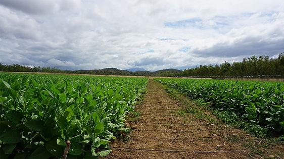 El Corojo Farm, Eirora Cigars.jpg