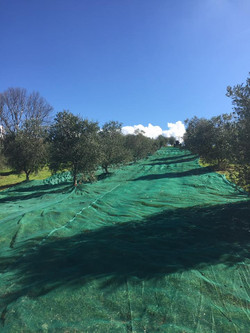 Raccolta olive stagione 2016