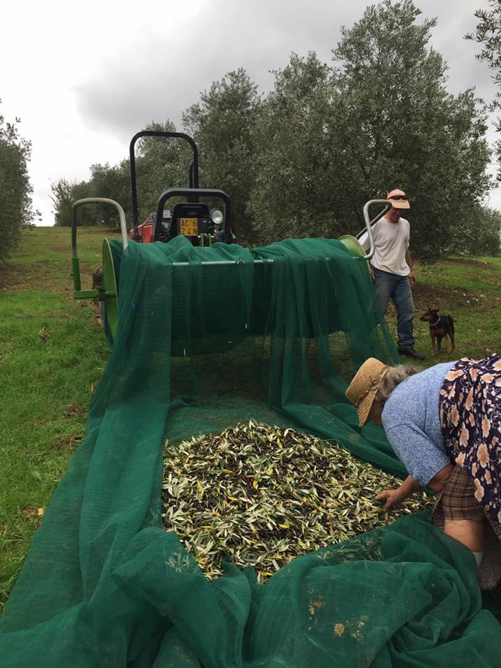 Raccolta olive stagione 2016 2