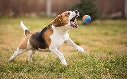 dog catch ball.jpg