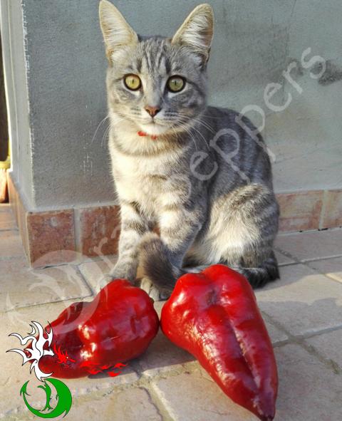 NOTTURNO GRANDE MULATO CAT