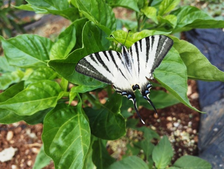 draxpeppers farfalla