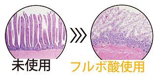 フルボ酸 腸腺.jpg