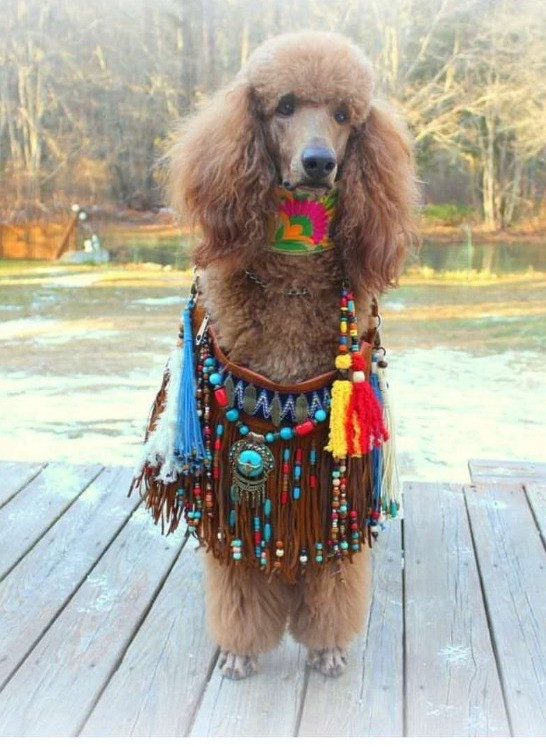 funny bag, poodle funny, colorful collar