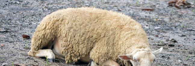 sheepsleep