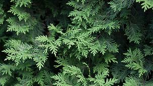 evergreen.jfif