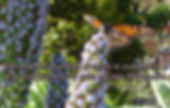 a monarch butterfly sitting on top of blue budlea flower with wings spread